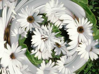 Beautiful White Daisy wallpaper