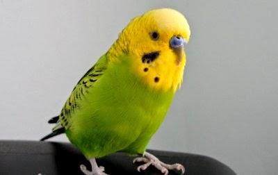 cara-memilih-burung-parkit_5430