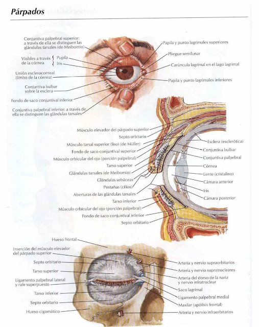 Vistoso Anatomía Del Párpado Imagen - Anatomía y Fisiología del ...