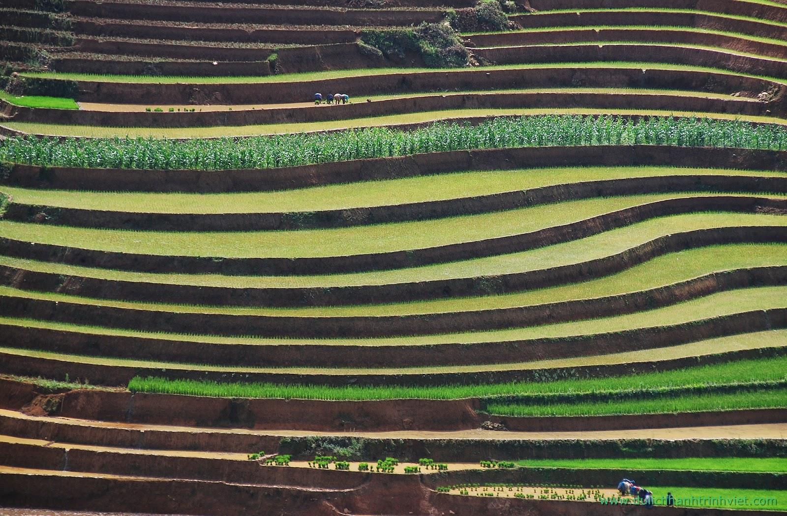 Rizières en terrasse de la région Mu Cang Chai - La saison du répiquage