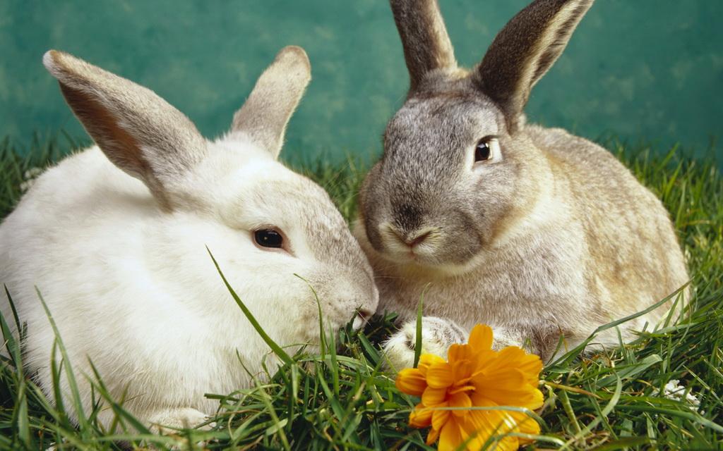 Widescreen Desktop Wallpepers Rabbit Pandas Dogs Puppies And Bunnies Wallpaper