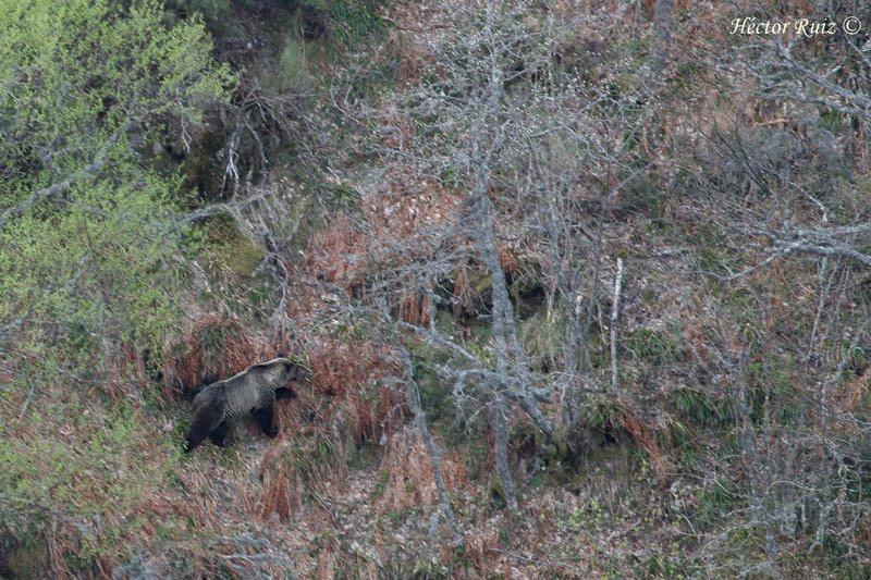 Presencia de osos en Sanabria