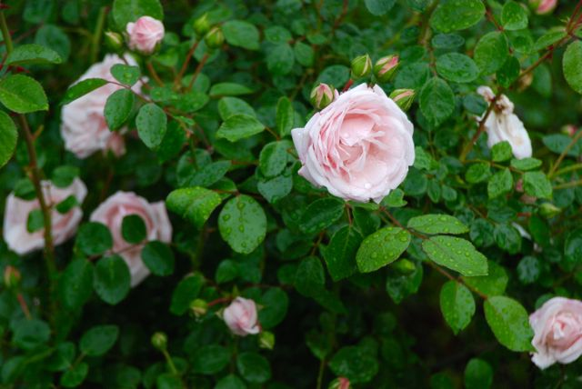 This old-fashioned pink rose was one of the shrubs that we inherited with this property. Its fragrance is light and refreshing.