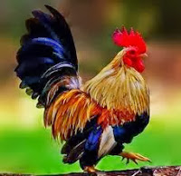 vitamin / suplemen ayam kate