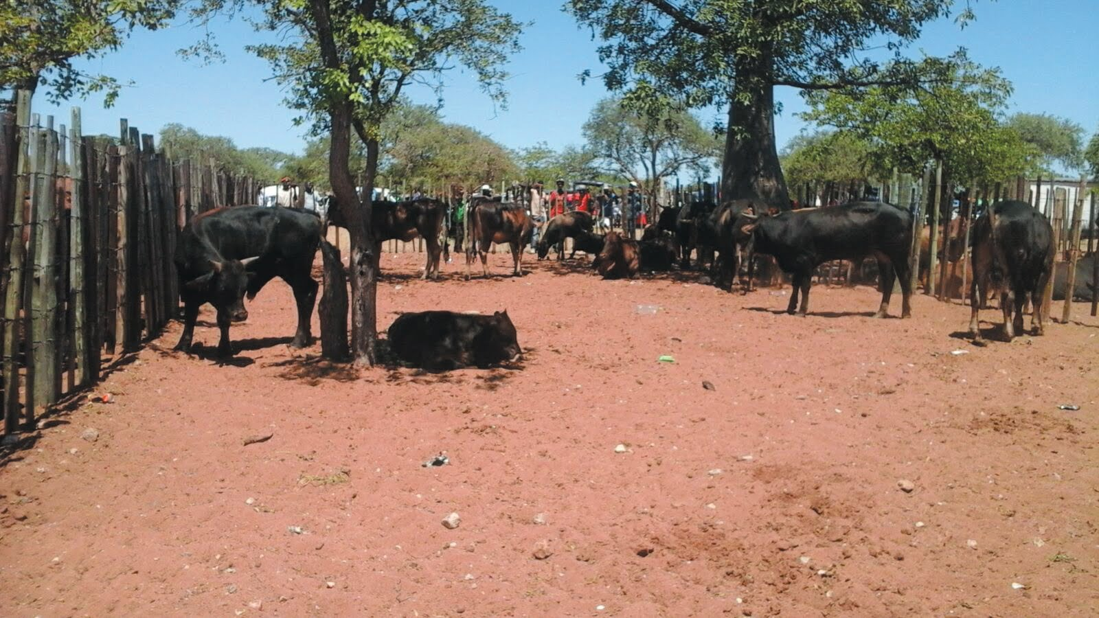 Beitbridge council official in court for stealing cattle for Mirror zimbabwe