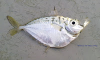 Pugnose Ponyfish