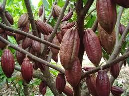 Manfaat Buah Kakao
