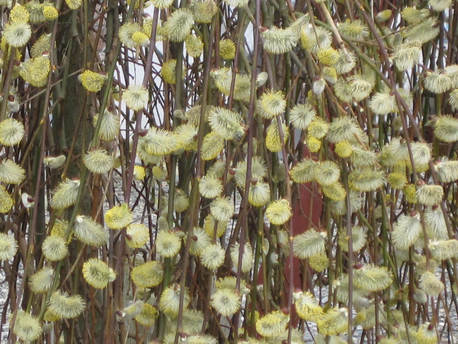 closeup weeping pussy willow