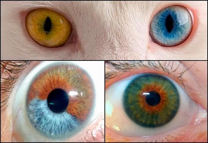 Heterocromia - animais com olhos de cores diferentes
