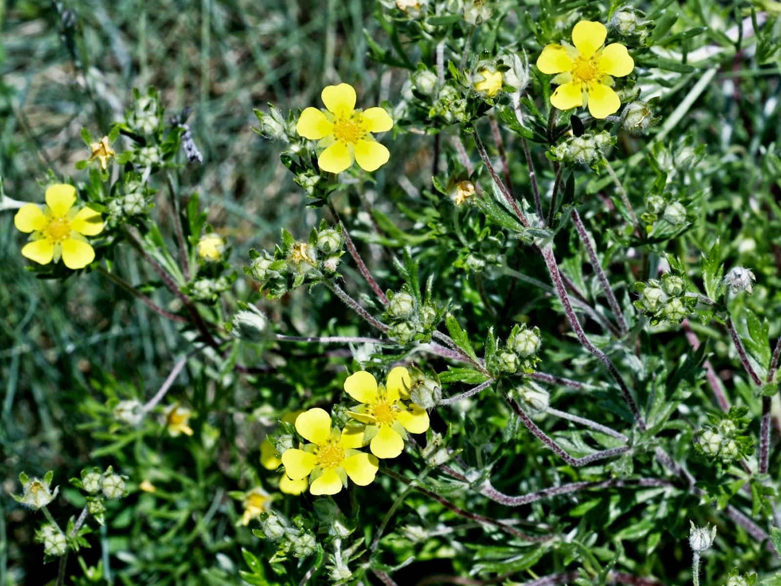 Vercorin les fleurs du tour du mont fleurs jaunes jaunes vertes - Polygala myrtifolia feuilles jaunes ...