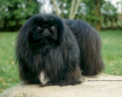 Black Pekingese Dog For Sale