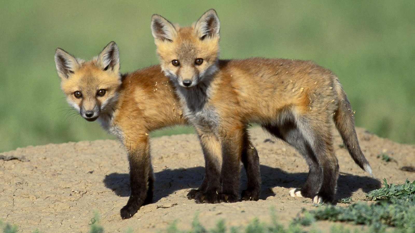 Free cool wallpapers red fox wallpapers
