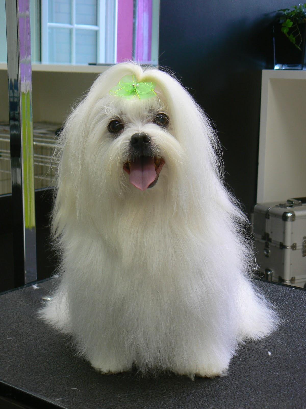 hond met blauwe tong ras