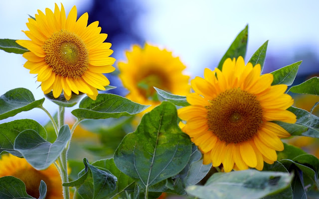 Girasoles Hermosas Fotos de Flores - Imágenes de Flores en HD