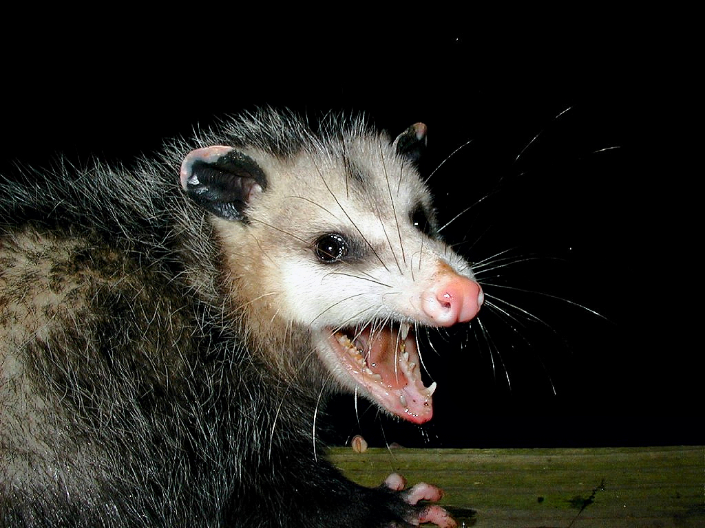 Minna Krebs ~ Blogville, Texas: Possum Report from da Urban Jungle