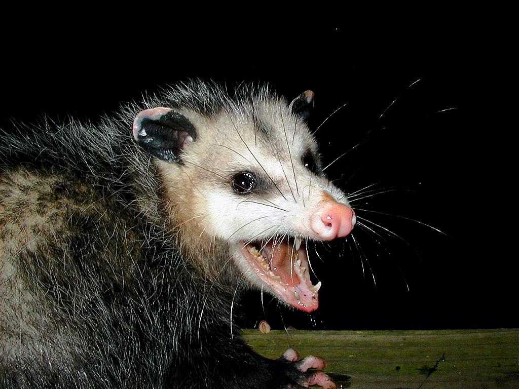 Minna Krebs Blogville Texas Possum Report From Da