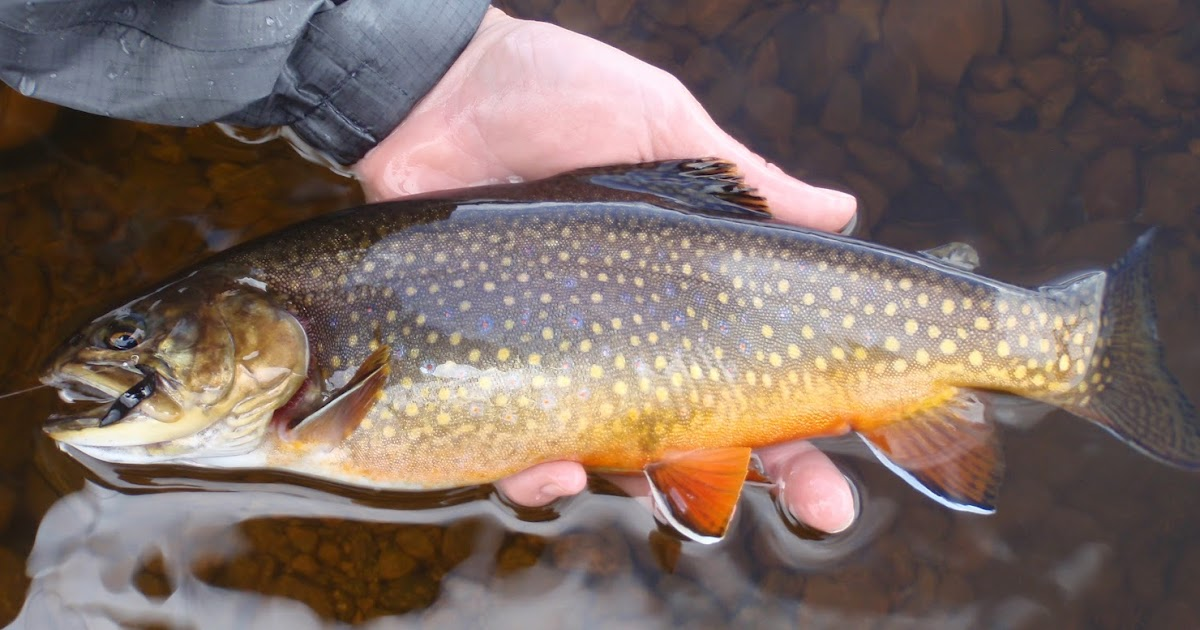 Colorado fly fishing reports brainard lake brookies moose for Colorado fly fishing reports