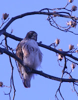Red-tailed Hawk - Royal Botanical Gardens
