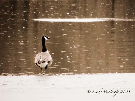 goose standing in snow