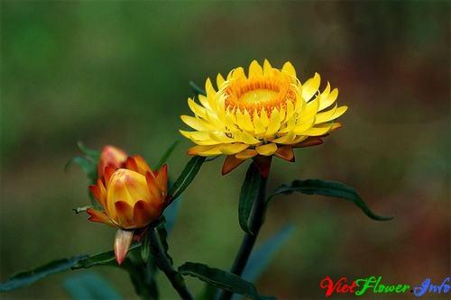 y nghia hoa paper daisy