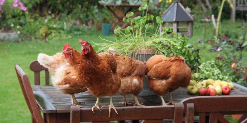 hvad kan høns ikke tåle
