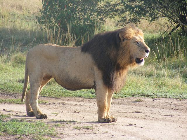 Notch, Masai Mara, lions, safari, Kenya, Maasai