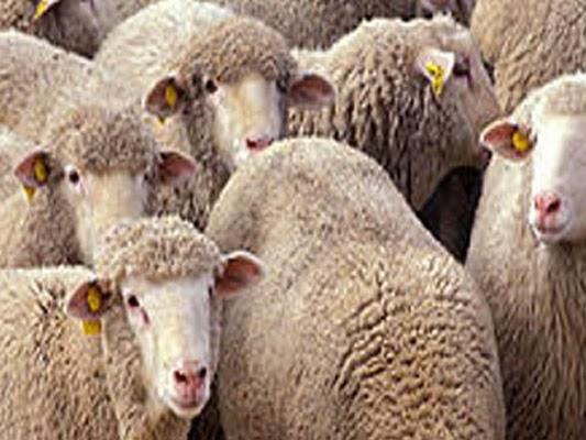 6000 moutons d'Espagne à l'occasion d'Aïd Al Idha