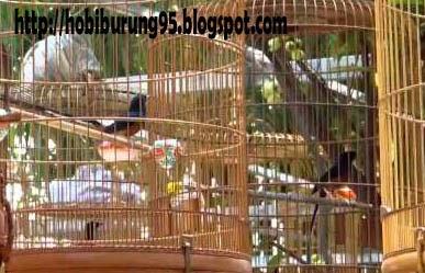 Perawatan Dan Stelan Burung Murai Batu Mabung