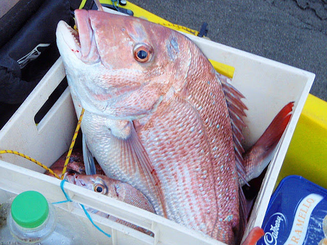 http://www.seabreeze.com.au/News/Fishing/VIC-Two-huge-illegal-snapper-hauls-uncovered_6015592.aspx