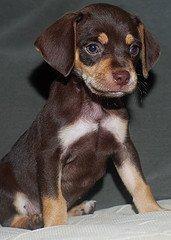 small beagle mix puppy