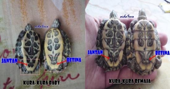 Cara mengenal pasti jantina kura-kura