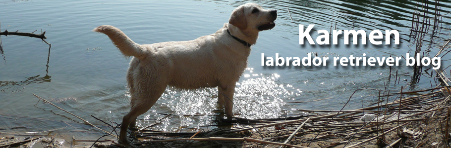 Karmen: labrador retriever