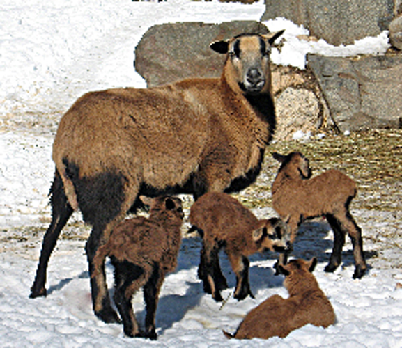 March Comes In Like And Goes Out Like >> Wildwood Wildlife Park: Barbados Sheep Lambs