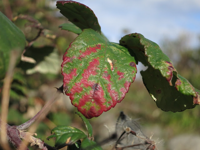 Red lines showing leaf miner damage - but that's clearly not the only reason for them.