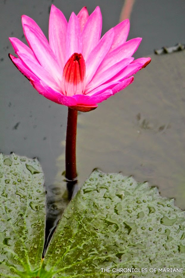 lotus flower bloom