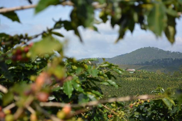как выращивают кофе во Вьетнаме