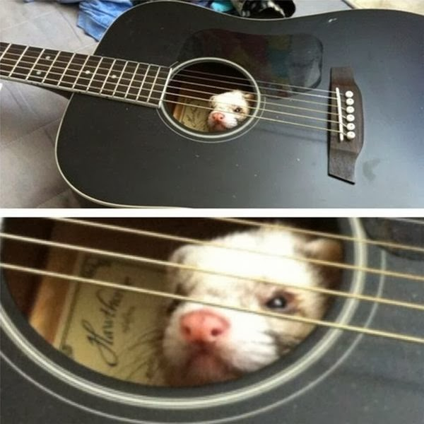 Funny animals of the week - 7 February 2014 (40 pics), possum inside a guitar