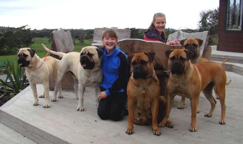 Dog Bullmastiff Rottweiler Mix Puppies For Sale Blue Bull