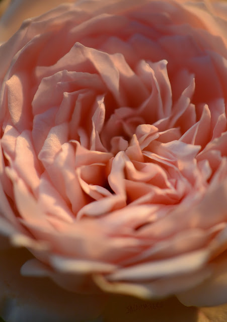rose, rosebud, sarah myers, photography,heart, center, centre, photograph, nature, plant, flower, garden, beauty, flores, rosa, macro, close-up, bright, brilliant, hybrid, pink, english, Saint Swithin, gentle, storm, petals, ruffles