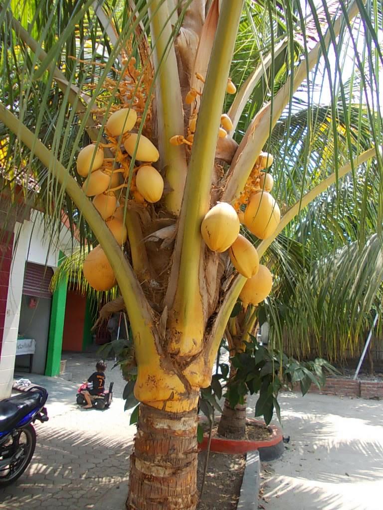Jual pohon kelapa gading | suplier tanaman | tanaman hias | jasa desain taman