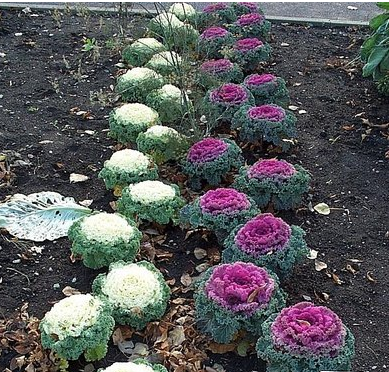 A Curious Reader Wants To Know If You Can Eat Flowering Kale Yes That Was Easy Differs From Regular In Having Short Internodes So The