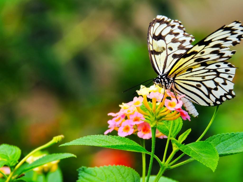 """<img src=""""http://1.bp.blogspot.com/-l19ajJdzqds/UtrsIUAt1eI/AAAAAAAAI6I/f3rRK3jjGqY/s1600/butterfly-sucking-flower.jpeg"""" alt=""""butterfly sucking flower"""" />"""