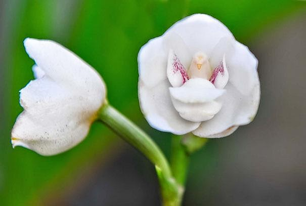 "Orchid ""Dove, or the Holy Spirit"" (Peristeria Elata)"