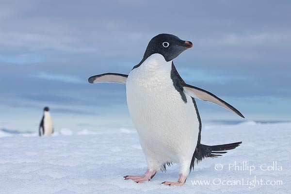 Images of adelie penguins - photo#8