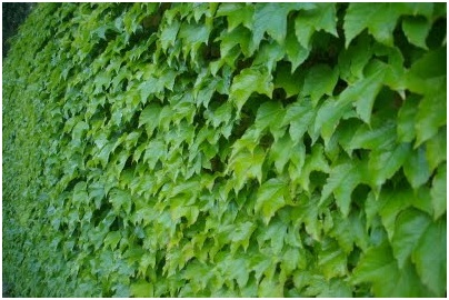Vines creepers or climbing plants to fill walls in the for Arbol de hoja perenne para jardin