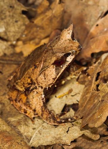 leaf+frog Kodok Kodok yang Pintar Menyamar
