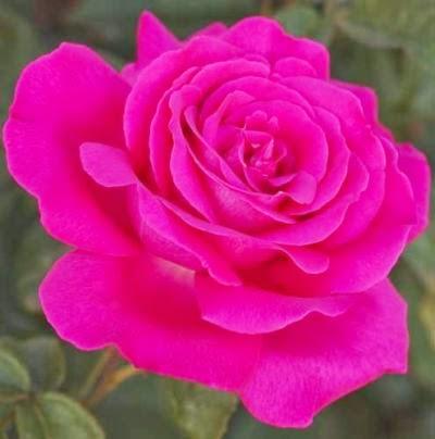 Felicitari trandafiri