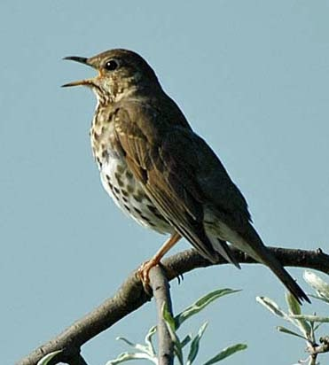 Twitter - click song thrush