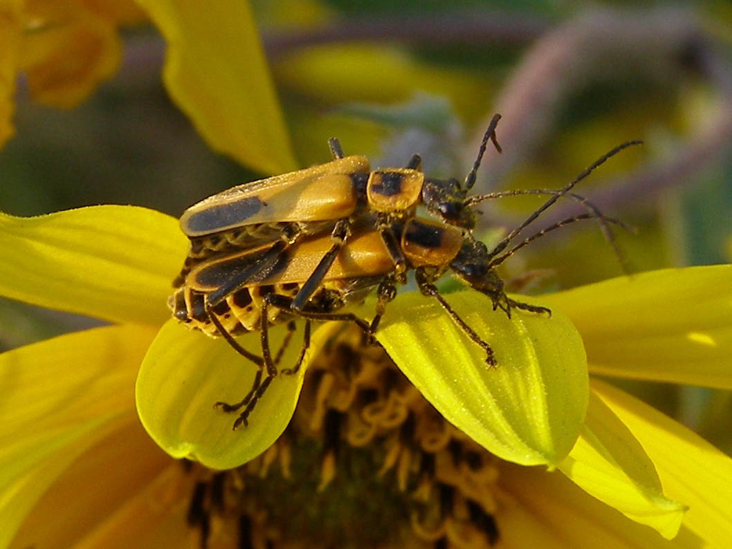 There were also many couples working to ensure a large crop of beetles    Goldenrod Soldier Beetle