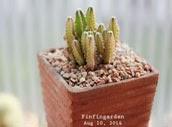 http://finfingarden.blogspot.com/2014/12/cereus-peruvianus-cactus-cacti-nature.html